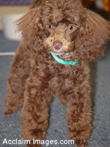 Stock Picture of a Little Brown Poodle