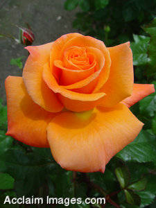 """Stock Photo of an Orange """"Passion"""" Rose"""
