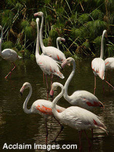 Stock Photo of a Group of Chilean or Greater Flamingos in a Pond