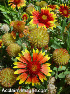 Stock Photos of Indian Blanket Flowers