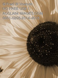 Bee On Sunflower Pictures, Photos, Clip Art Stock Photo