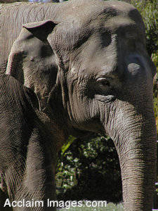 Stock Photograph of an African Elephant