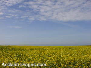 Stock Clipart Photo of a a Field of Yellow Mustard Flowers Under a Blue Sky
