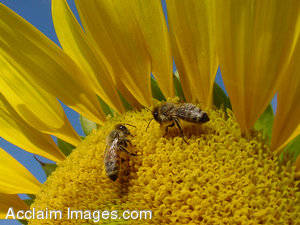 Stock Picture of Bees on a Yellow Daisey