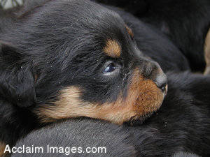 Stock Photo of a Sleeping Puppy