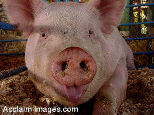 Stock Photo of a Pig, Up Close, With It's Tongue Out