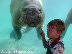 Stock Photography of a Young Boy Looking at a Walrus