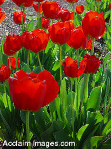 Bed of Red Tulips Stock Photo