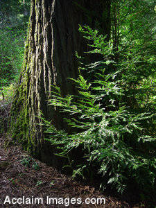 Stock Photo of Redwood Trees Along the Smith River
