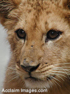 Stock Photography of a Lion Cub