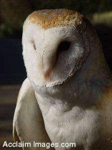 Stock Photo of a Barn Owl