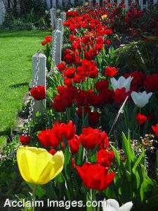 Stock Photo of a Bed of Red Tulips