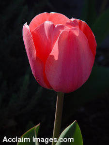 Stock Photo of a Pink Tulip