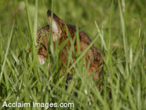 Stock Photo of a Cat In Tall Grass