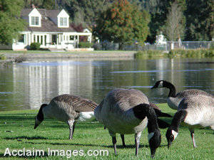 Stock Clipart Photo of Canadian Geese by a Pond