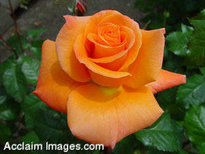 "Stock Photo of a ""Wildfire"" Rose"