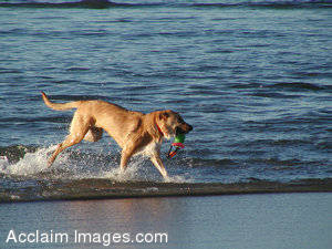 Stock Photo of a Dog Running in the Surf
