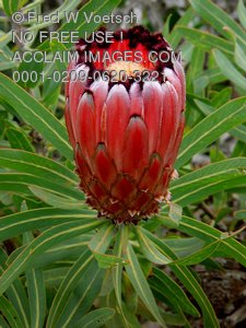 Protea Flower Photos - Hawaiian Flowers