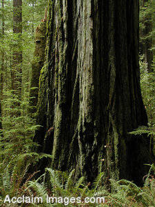 Stock Photo of Smith Redwoods State Parks Huge Redwood Tree