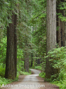 Stock Photo of Redwood Trees at Smith Redwoods State Park, California
