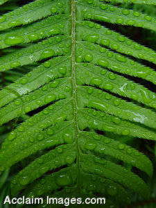 Stock Photo of a Fern With Dew in The Redwood Forest