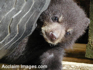 Stock Picture of a Baby Bear