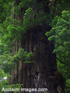 Stock Photo of Smith River State Parks Redwood Trees