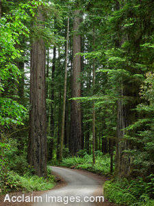Stock Photo of Smith Redwoods State Parks Redwood Trees