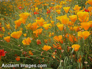 Stock Photo of a Field of Poppies