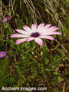 Stock Photo of an African Daisy