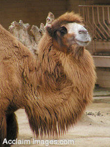 Stock Photo of a Camel