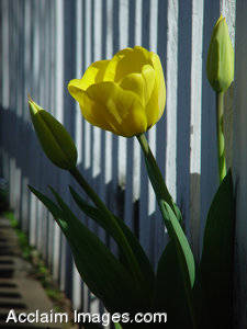 Stock Photo of Yellow Tulip Growing Through a White Fence