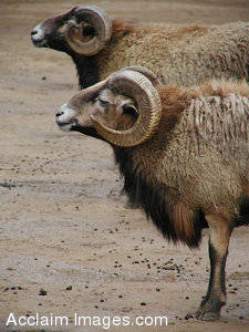 Stock Photo of Two Bighorn Sheep