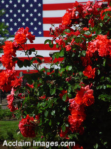 Stock Clipart Photo of a Red Rose Bush with the American Flag Behind It