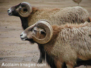Stock Photo of Bighorn Sheep