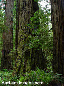 Stock Photo of the Redwood Forest located in the Smith Redwoods State Park