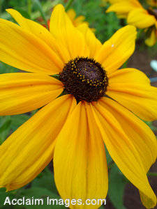 Brown Eyed Susan Flower Photography