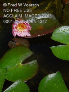Photos of Water Lilies
