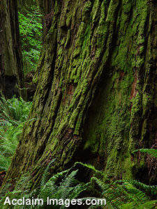 Stock Photo of a Redwood Tree