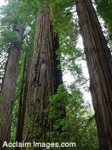 Stock Photo of Smith Redwoods State Parks Hugh Redwood Trees