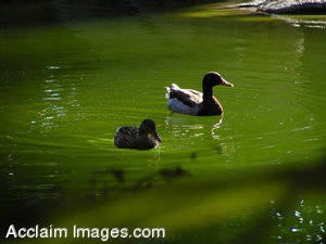 Stock Photo of Two Ducks On a Pond