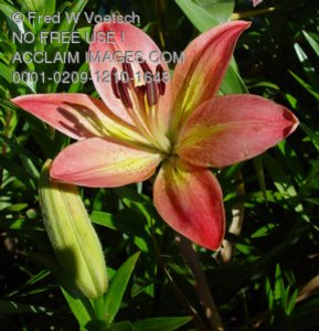 Daylily Photos