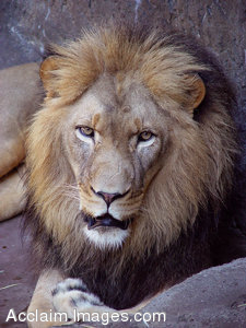 Free Stock Clip Art Photo of a Majestic Lion