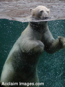Stock Photo of a Polar Bear Swimming