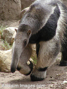Stock Photo of an Anteater Walking In a Zoo Enclosure