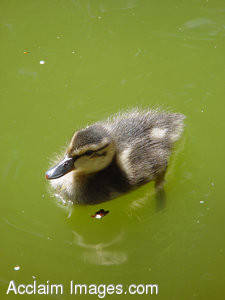 Stock Clipart Photograph of Duckling