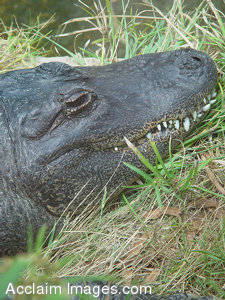 Stock Photo of an Alligator