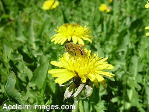 Stock Photo of  dandelion