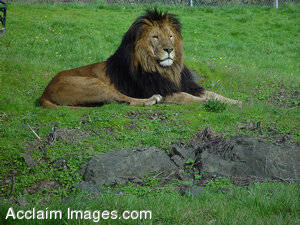 Stock Photo of a Male Lion