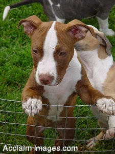 Stock Photo Pit Bull Puppies